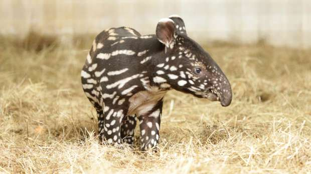 London Zoo Keeper for a day experience - baby tapir