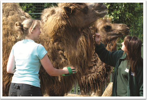 Shadow a Zoo Keeper for a Day Camels