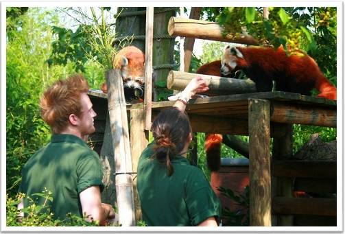 Shadow a Zoo Keeper for a Day Red Pandas