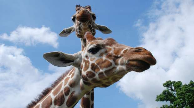 Whipsnade Zoo Keeper for a Day Experience Giraffes