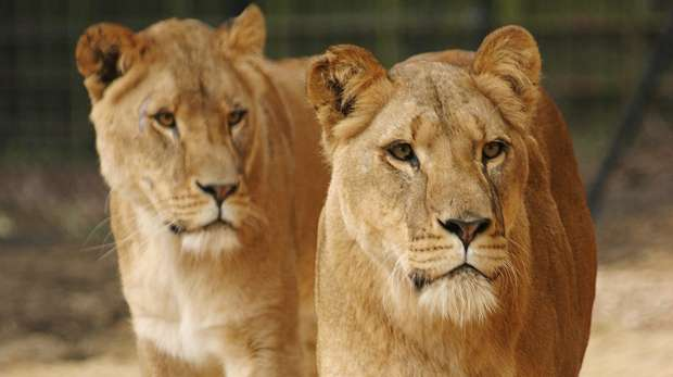 Whipsnade Zoo Keeper for a Day Experience Lions
