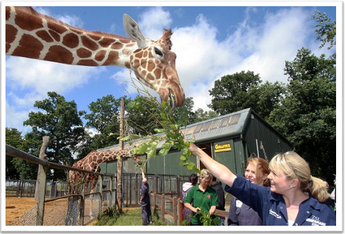 Zoo Keeper for a Day with Giraffes